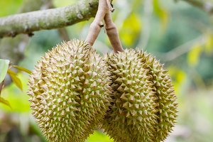 Durian fruit on tree
