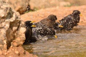 Several spotless starling