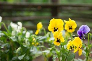 Pansies blooming closeup of yellow