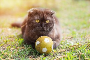 Cat football player