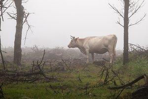 Galician cow in nature in a foggy da