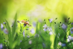майский жук летит над цветущим лугом