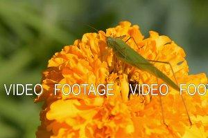 Grasshopper on marigold flower