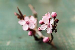 Cherry blossom  or sakura flowers on wooden background