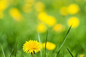 Field of yellow dandelions  (Taraxacum officinale) on a sunny day