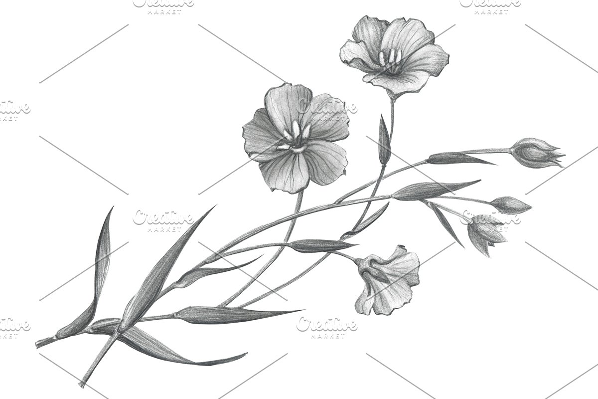 Flax pencil drawing isolated