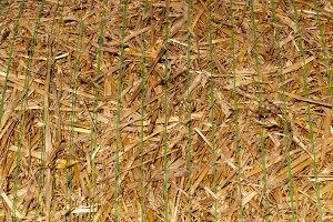 straw of wheat