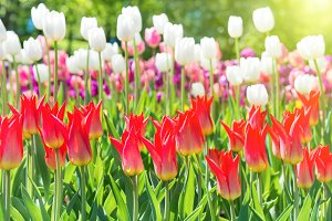 Tulips with many colorful flowers