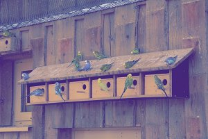 Budgies sitting on their houses