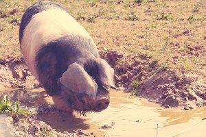 Fat swine bathing in mud