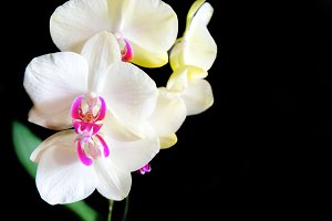 White and pink orchids