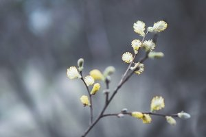 willow branches on a background