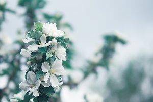 flowering branch of Apple tree