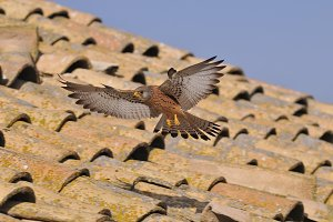 Male lesser kestrel