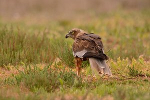 Male western marsh harrier.
