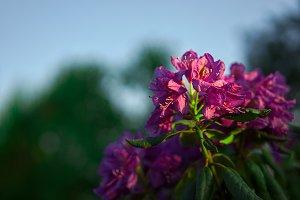 Purple Flowering rhododendron
