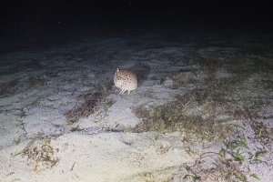 Hermit crab at night diving. Philippines, Mindoro