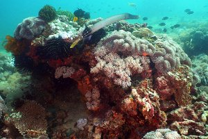 Coral reef and tropical fish. Philippines, Mindoro.