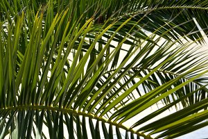 Palm leaves. Natural background