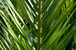 Palm leaves. Close up