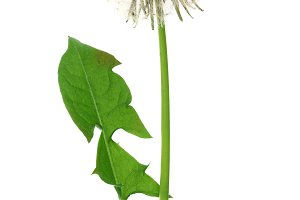 Dandelion flower or Taraxacum Officinale with leaves isolated on white background