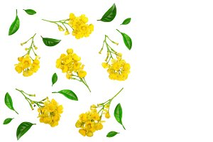 Flowers of barberries with leaves isolated on white background. Top view. Flat lay pattern