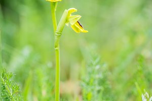 wild orchid Ophrys lutea Southern Eu