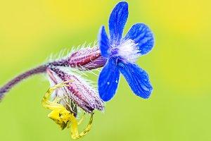 Yellow spider on flower