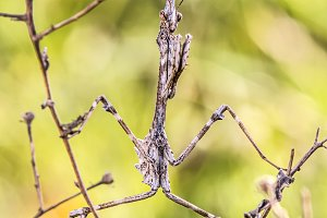 Mantis Empusa Pennata Camouflage