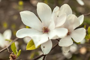 Beautiful close up magnolia flowers. Blooming magnolia tree in the spring. Selective focus.White light spring floral photo background