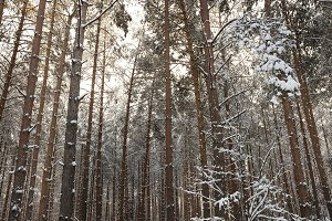 Winter forest,