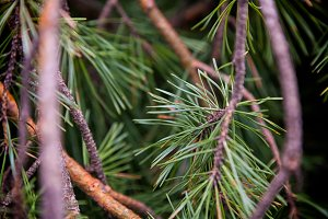 green branches of coniferous tree