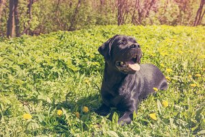 Labrador on the grass in a park
