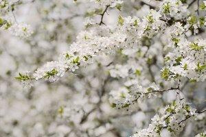 Plum spring flowers