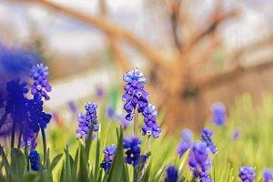 Muskari blue flowers
