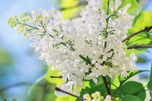Flowering lilac branch at sunny spri