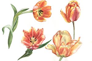Tulips red flower PNG watercolor set