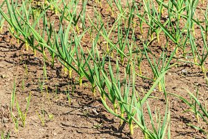 Young green garlic on beds