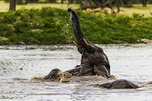 African Elephant playing