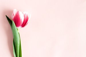 Red tulip on a pink background