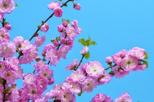 flowers Louiseania triloba