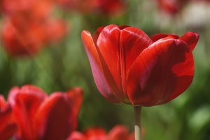 red blossoming tulips