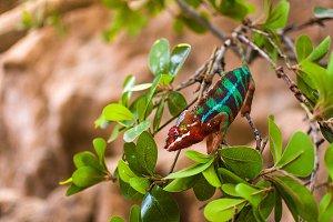 Colorful chameleon