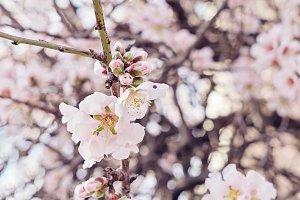 Beautiful flowering almond tree