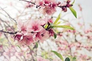 Pink cherry branch