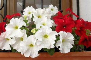 White and red petunias on window