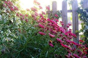 Backlit daisies in the corner garden
