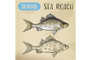 Sketch of common sea roach or slater.