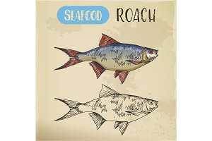 Seafood or common sea roach, slater sketch