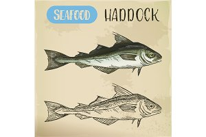 Sketch of haddock fish. Underwater wildlife or seafood
